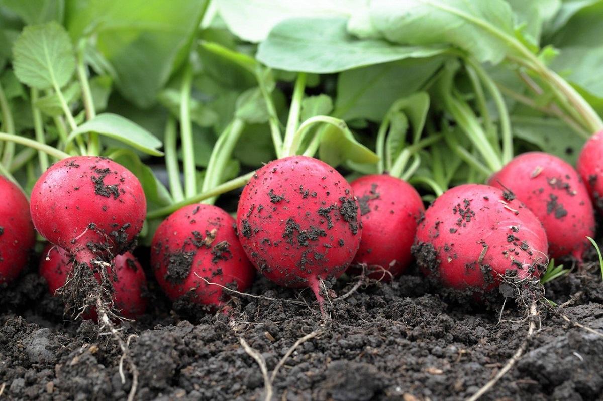 Cultivarea-ridichilor-1