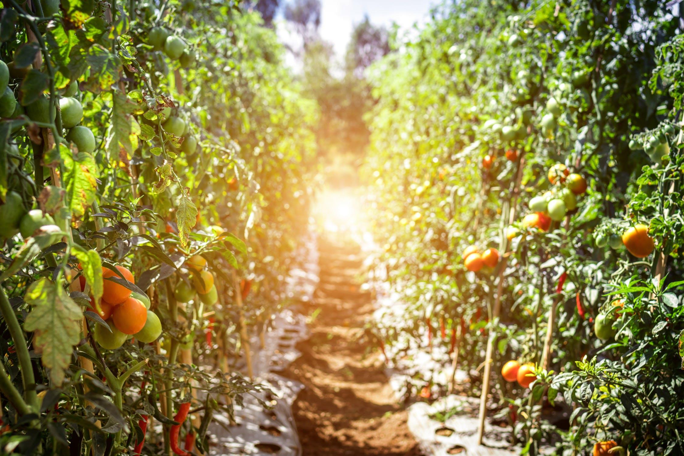 semplus-totul-depre-tomate